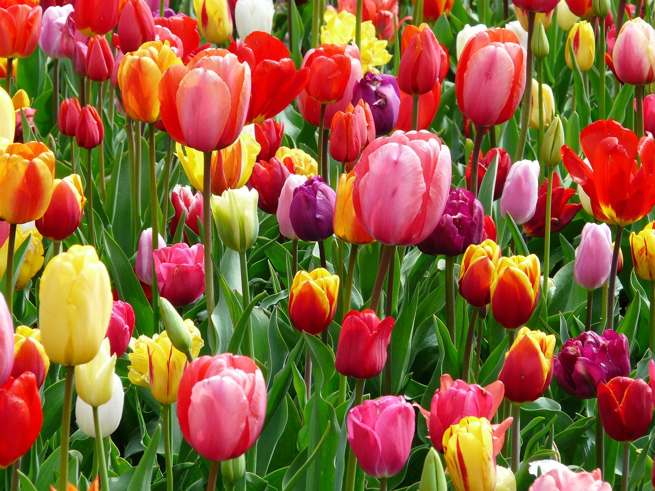 tulips-52126_1280